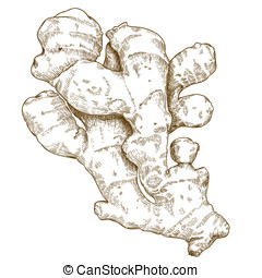 engraving ginger root - Vector engraving illustration of...