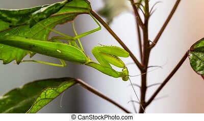 Green Mantis Hanging On A Swinging Leaf While Hunting -...