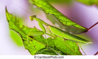 Praying Mantis Pretending To Be A Green Leaf - CLOSE UP: In...