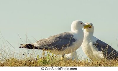 Two White Seagulls Standing In Field - Two white common...