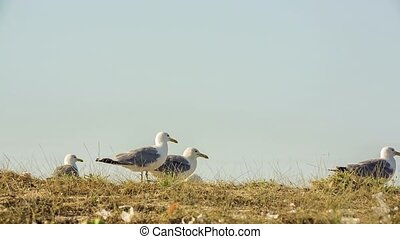 Several Seagulls Walking In Dry Grass - There are several...
