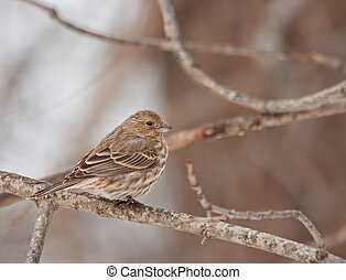 House Finch (Carpodacus mexicanus) - Female house finch...