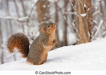 Fox Squirrel (Sciurus niger} - Fox squirrel (Sciurus niger)...