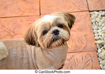Shihtzu - Shihtzu dog is so cute