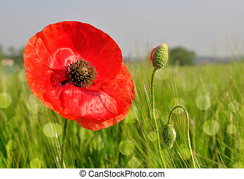 Red poppy in wheat fields