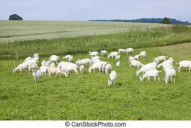 Goats on pasture - a flock of white goats standing on a...