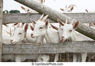young goat - a herd of young white goat standing on a...