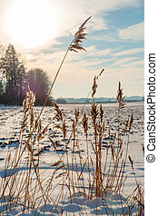 Dry tall grass at snowy field in sunflare, Norway
