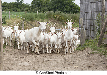 Flock white goats - a herd of young white goat running on a...