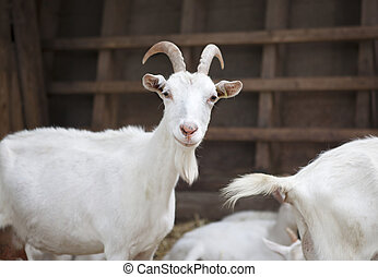 Milch goat in the barn - a goat is in the barn and looking...
