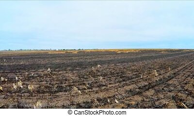 Burnt Agricultural Field In Ukraine - Flying shot over burnt...