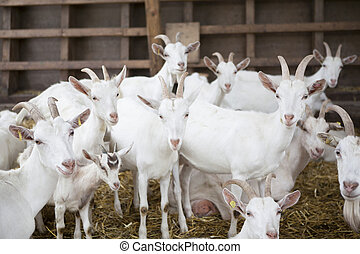 Goats in the barn - many white goat standing in the barn and...