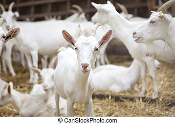 dairy goats - many white goat standing in the barn and see