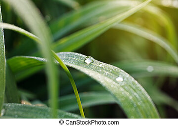 Dewdrop - dew drops on green grass