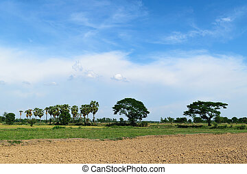 Rice field and blue sky - Rice field and big tree with dry...