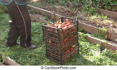 The woman puts boxes with the carrots, the grown up crop
