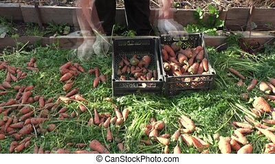 The woman stacks carrots in plastic boxes