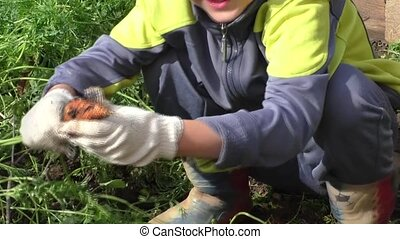 The boy cleans carrots, harvesting