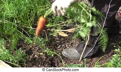 The woman cleans carrots, harvesting