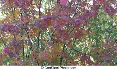 Bright beautiful Rowan trees in autumn
