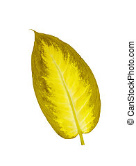 beautiful Dieffenbachia yellow leaf isolated on white...