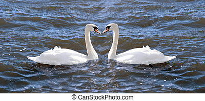 two swans in love on a lake in ireland about to touch beaks