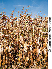 Corn stalks - Field of dried corn stalks