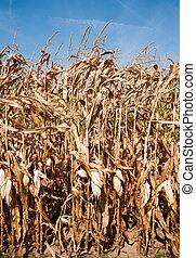 Corn stalks - Field of dried corn stalks