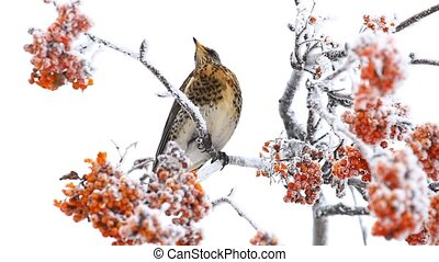 Thrush on the rowan berry tree in winter