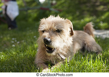 angry dog - one brown terrier breed dog lying on green grass...