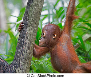 Wild Borneo Orangutan - Orangutan in the jungle of Borneo,...