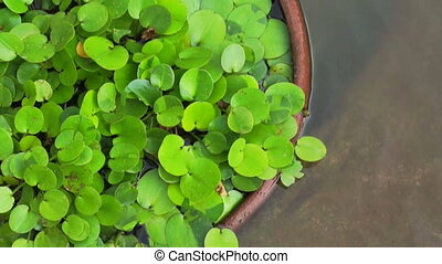 Green tropical aquatic plant in clay pot under water