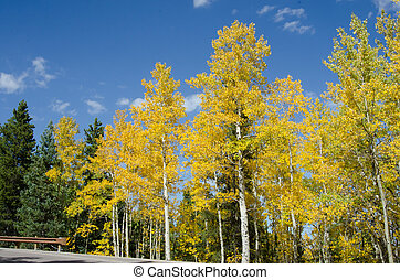 Aspens in Colorado Horizontal - Aspen trees turning yellow...
