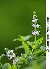 Flower of spearmint plant - Closeup photo of flower of...