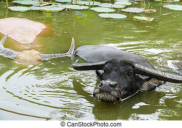 buffalo in the water lily pond - black and white buffalo in...