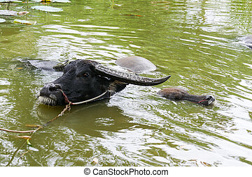 black buffalo in the pond - black buffalo carabao bathing in...