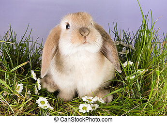 Baby bunny - Very young lop rabbit on a patch of grass with...