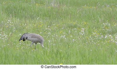 Common Crane foraging in grassfield