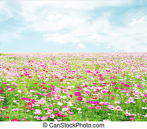 cosmos flowers fields with sky