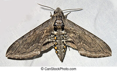 Tobacco Sphinx Moth - Tobacco Sphinx or Hawkmoth - Manduca...