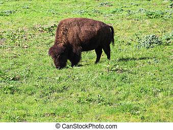 Buffalo grazing in the grass.