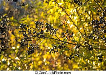privet berries in back light
