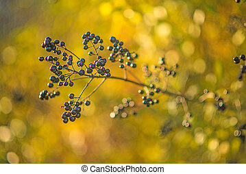 privet berries in back light