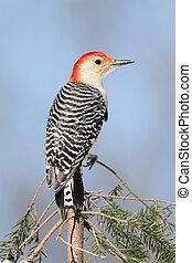 Woodpecker on a pine branch - Red-bellied Woodpecker...