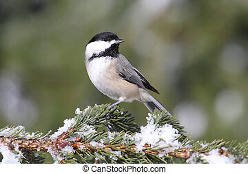 Chickadee on a branch with snow - Black-capped Chickadee...