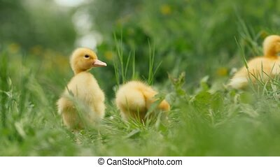 several ducklings on green grass