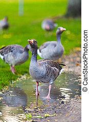 Goose Wild goose