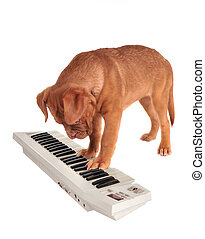 Puppy Playing electrical Piano - Puppy of Dogue De Bordeaux...