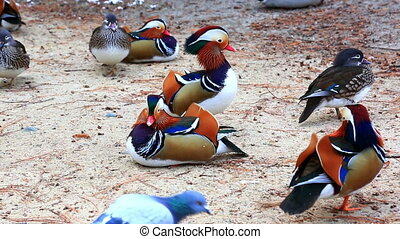 Flock of mandarin ducks on river shore - Flock of bright...