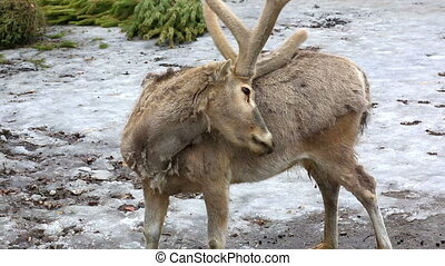 Reindeer scratching horns of back - Spotted deer in farm at...